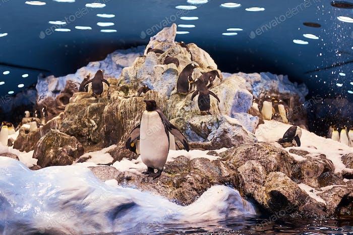 Die Gruppe der Kaiserpinguine auf der künstlichen Umgebung der Nationalzoo.