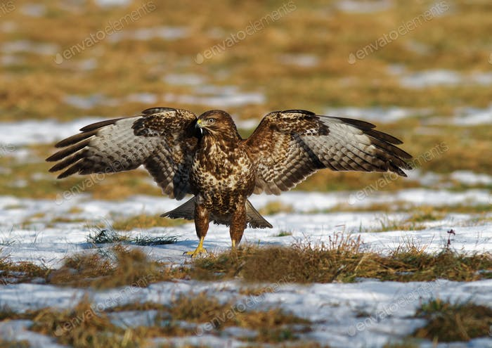 Common buzzard (Buteo buteo) with spread wings