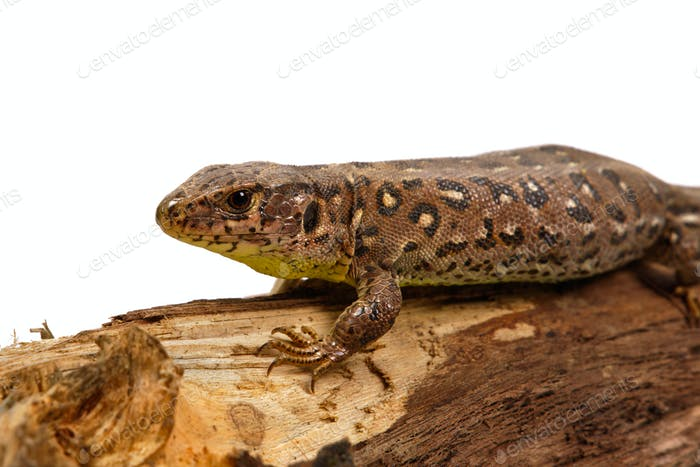 Lizard (Lacerta agilis) on a white background