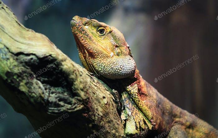 Frilled Lizard Up Close
