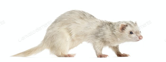 Ferret on white background, studio photography