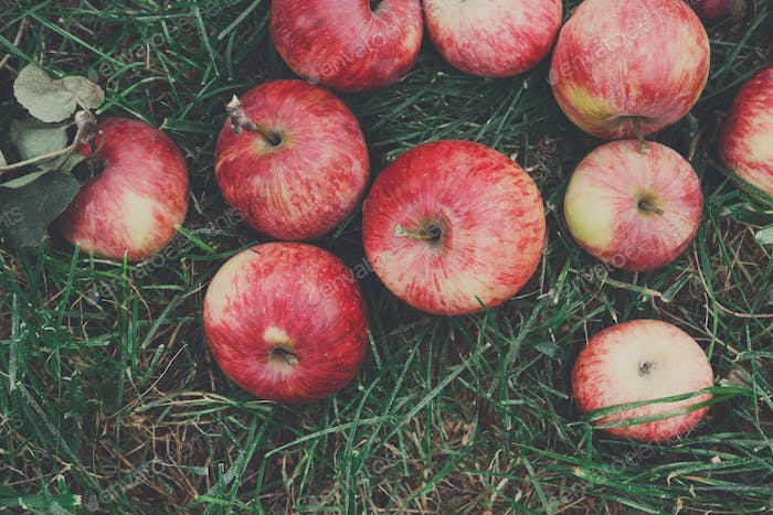 Scattered apples harvest on grass in garden