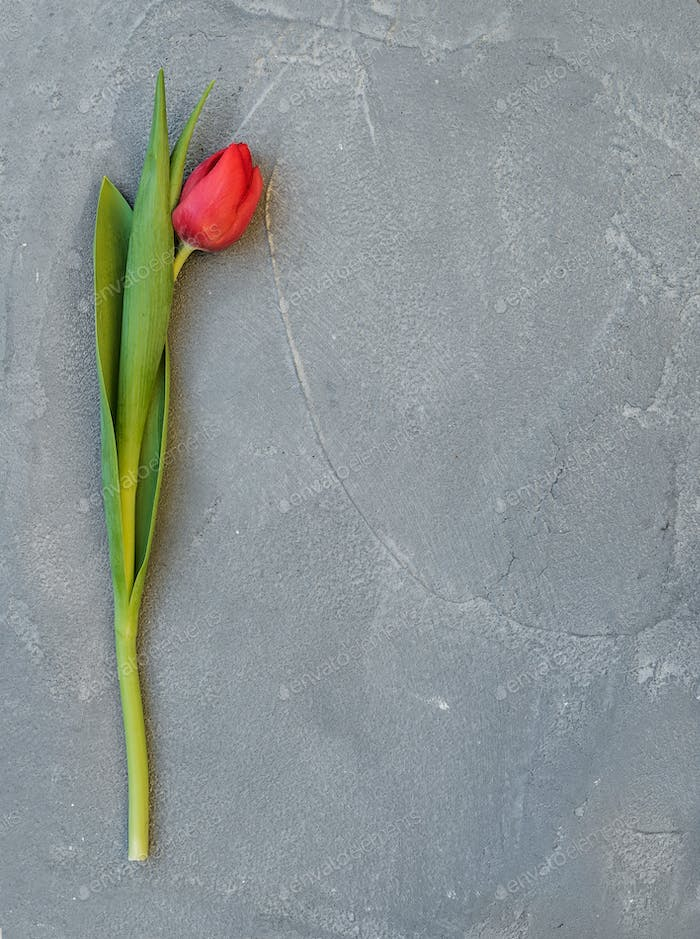 Ped spring tulip on a grey concrete stone background, top view, copy space.