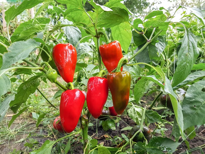 Red bell peppers  in the vegetable garden