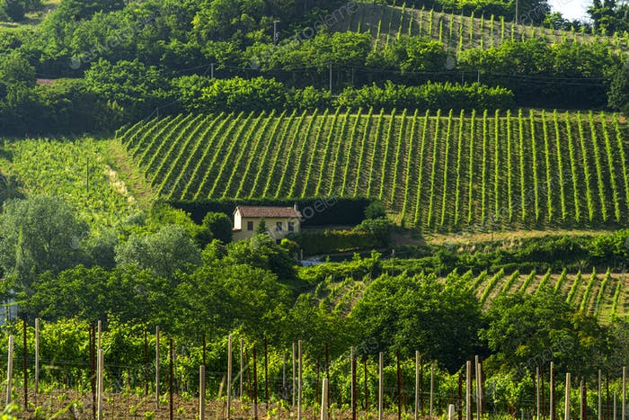 Vineyards of Oltrepo Pavese at spring