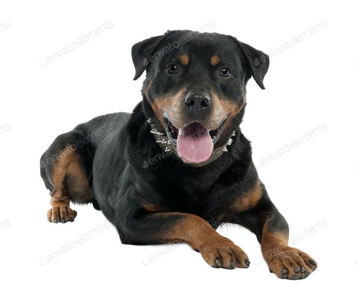 rottweiler (12 months)