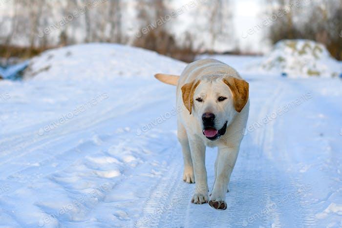 Labrador Retriever Hund