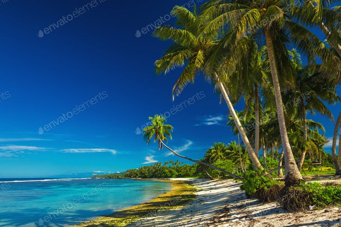 Tropical beach on Samoa Island with coconut palm trees