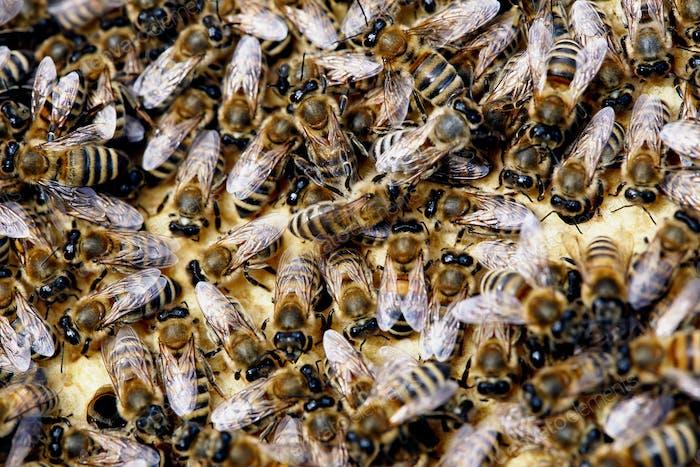 Honey Bees Closeup