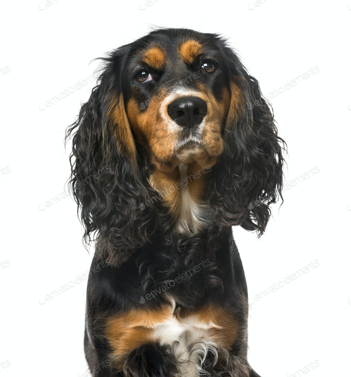 Bad-tempered English Cocker Spaniel, isolated on white,11 months old