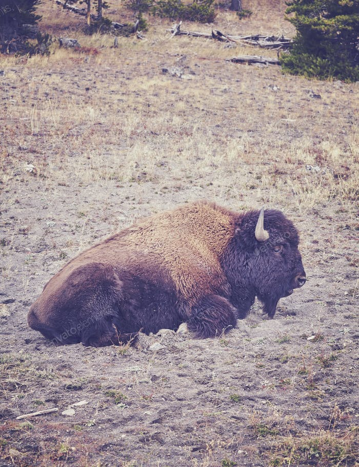 American bison in Yellowstone National Park, USA.