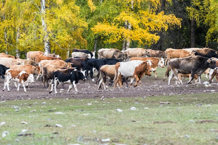 a herd of cattle in transfer grazing, xinjiang