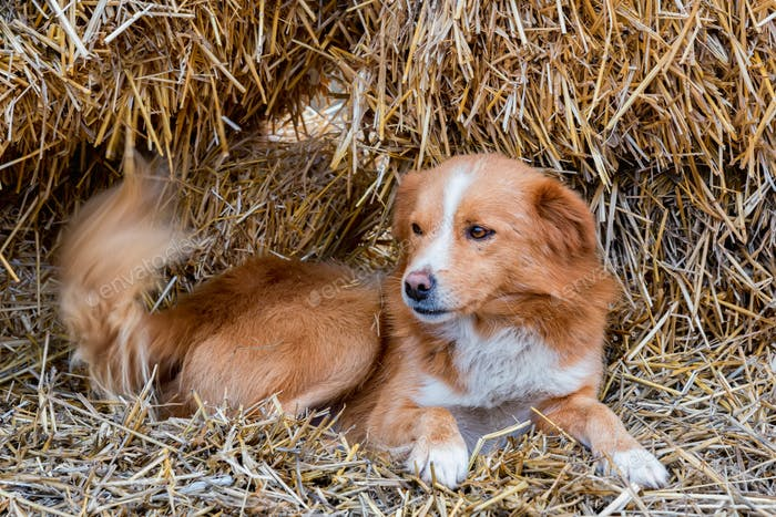 Cute brown farm dog rests on hay outdoors