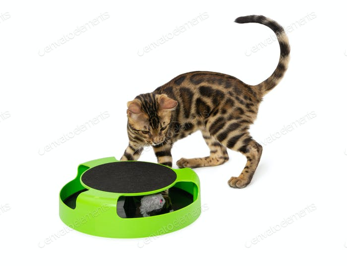 Bengal kitten plays an interactive toy isolated on white
