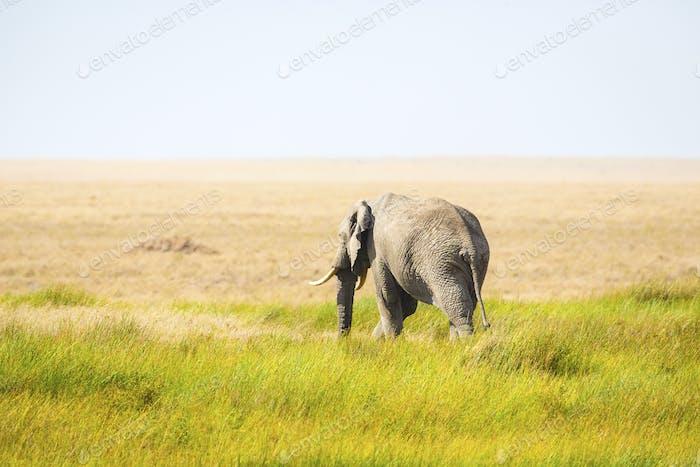 One lonely elephant walking in Serengeti Africa