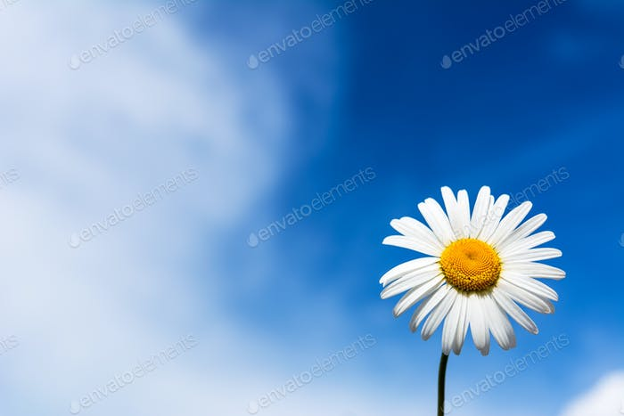 White chamomile on the blue sky