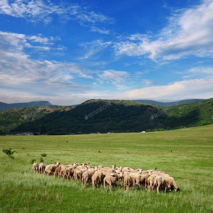 Herd of sheep grazing on pasture