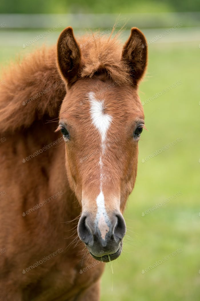 Portrait brown colt in summer