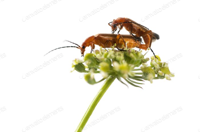 Common red soldier beetle, Rhagonycha fulva, mating on a flower in front of a white background