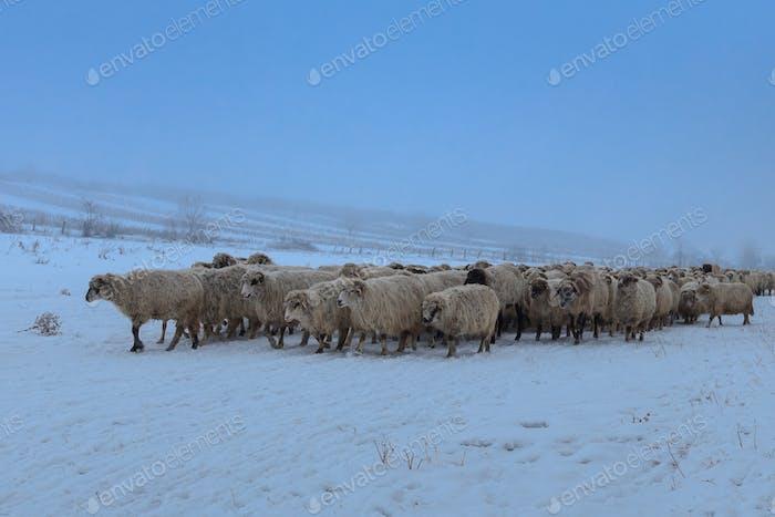 flock of sheep in winter