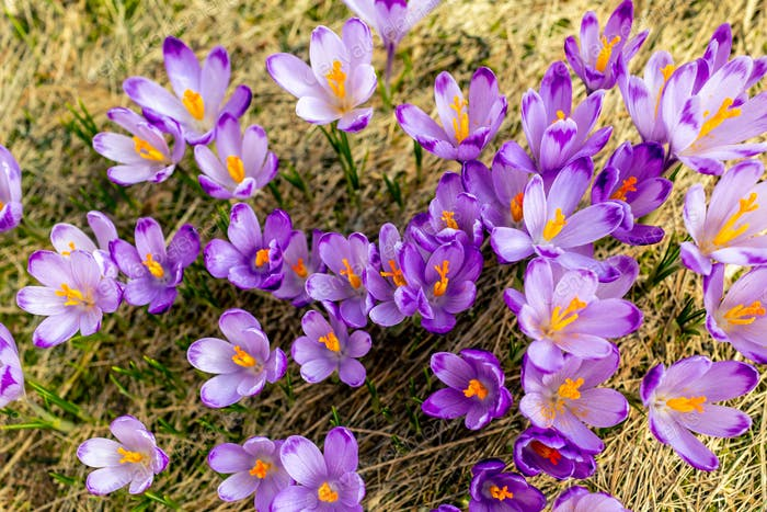 Crocus closeup from above, purple flowers background