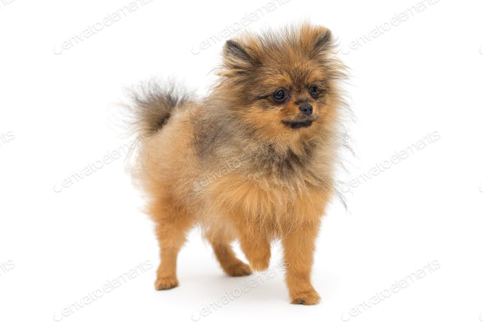 Puppy of breed a Pomeranian Spitz