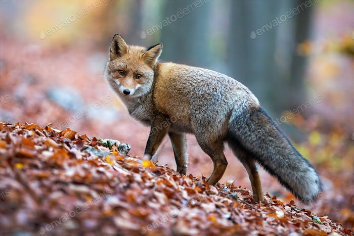 Red fox with puffy tail looking behind over shoulder in autumnal forest