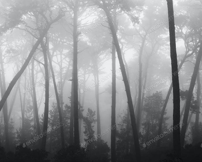 Coastal mist on Monterey pines
