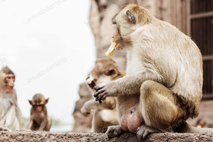 Monkeys sit are eating