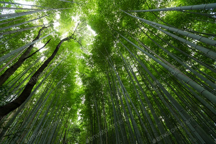 Bamboo forest at Arashiyama, Kyoto