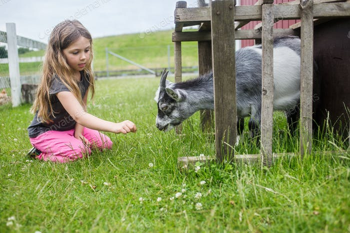 Girl (4-5) feeding goat with grass