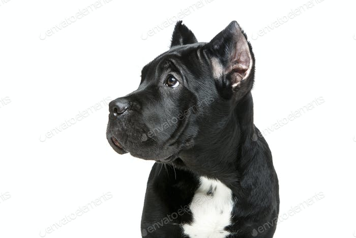 beautiful cane corso puppy