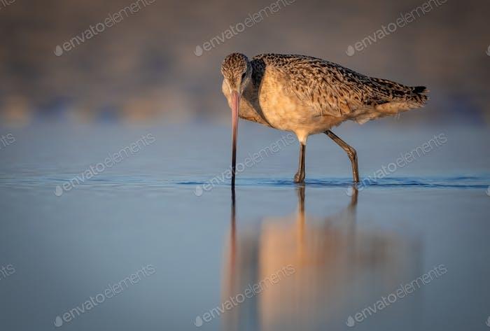 Un Godwit de mármol en la playa