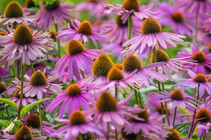 Purple echinacea flowers