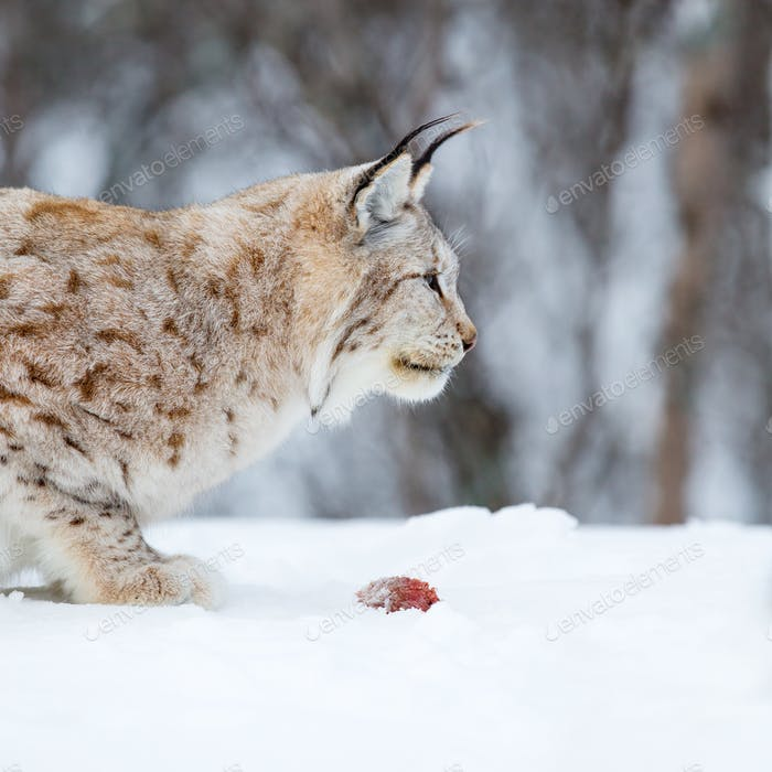 European lynx eating meat