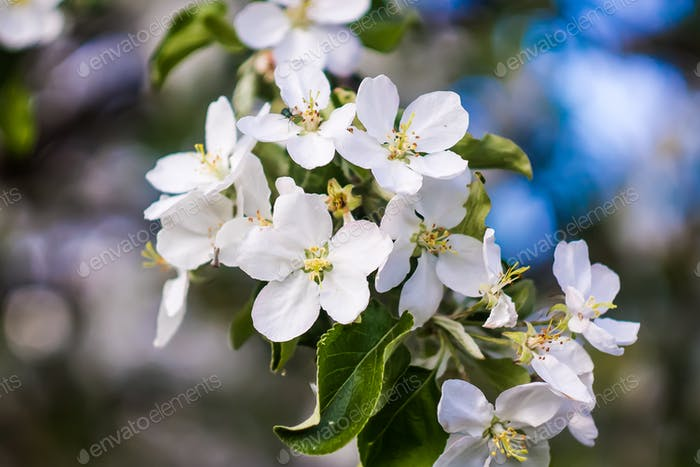 Beautiful apple flower in spring