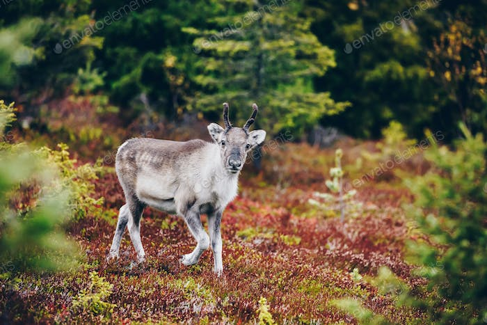 Young reindeer in fall forest in Finland.