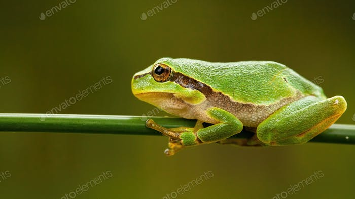 Small european tree frog sitting on green grass blade in summer