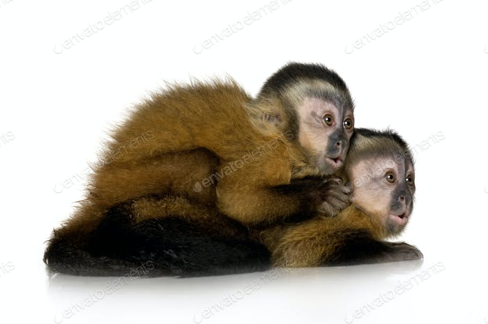 Two Baby Capuchins - sapajou apelle