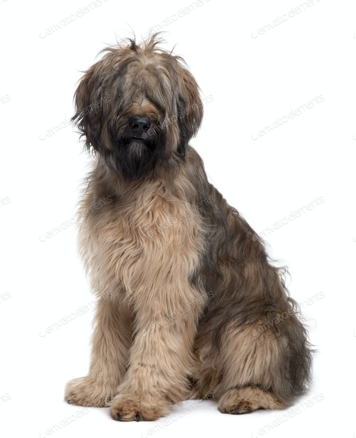 Briard dog, 9 Months Old, sitting in front of white background