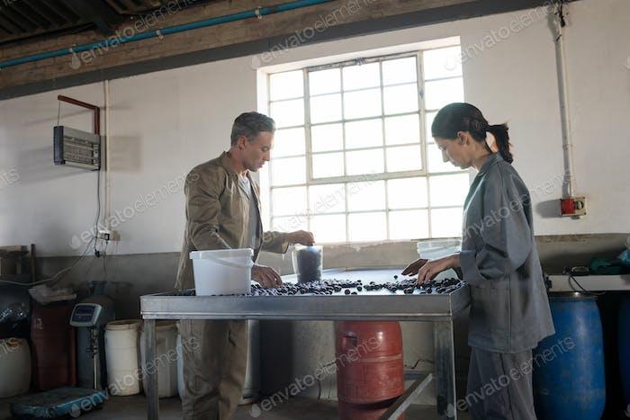 Рабочие проверяют собранные оливки на заводе