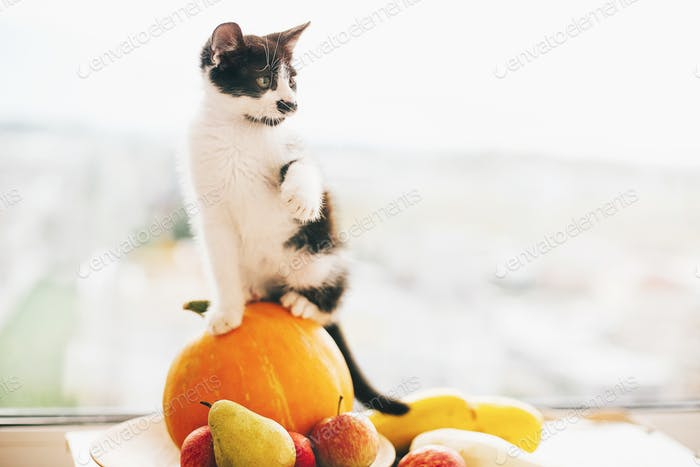 Adorable kitty sitting on pumpkin and zucchini, apples and pears
