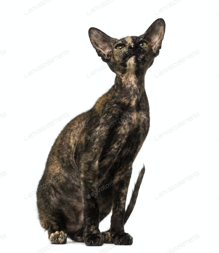 Peterbald kitten sitting and looking up