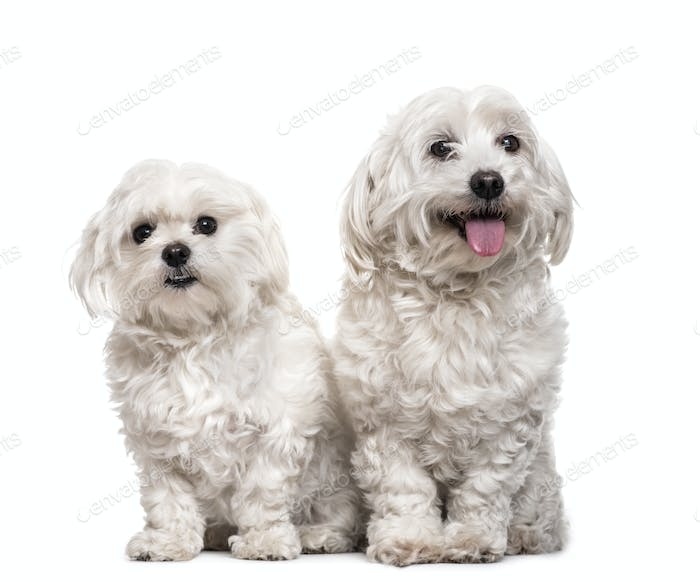 Two maltese dogs sitting, panting, isolated