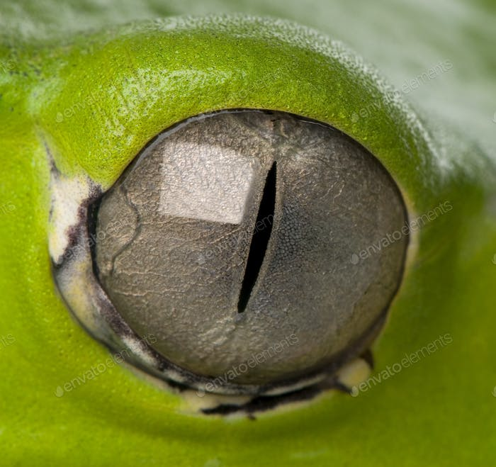 close-up on a frog eye