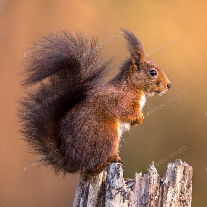 Red squirrel sitting bright background