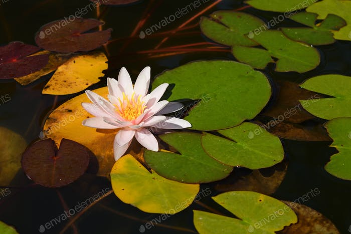 Water lily in pond close-up
