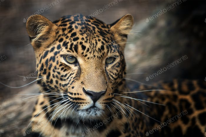 Close up leopard portrait