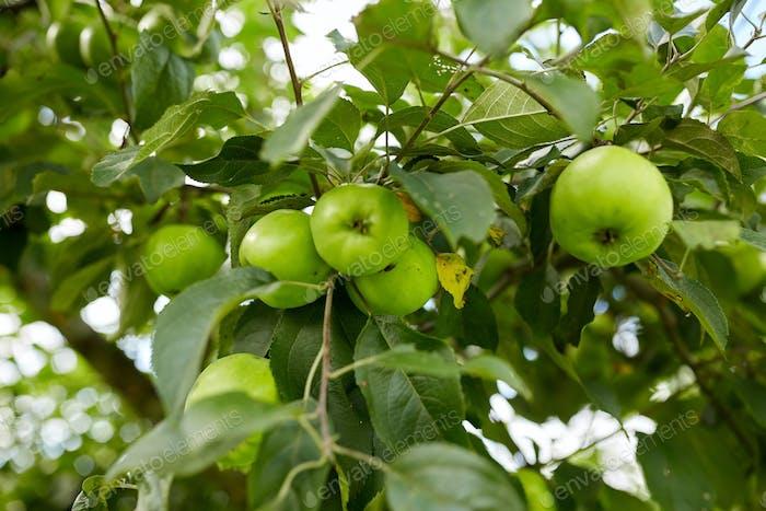 Nahaufnahme von Apfelbaumzweig
