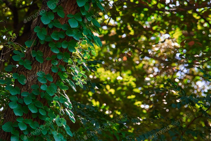 Fresh green leaves of the ivy on the tree trunk